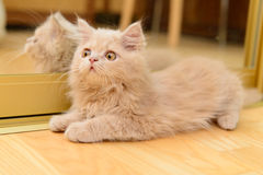 Fluffy Persian kitten Stock Images