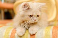 Fluffy Persian kitten Stock Images