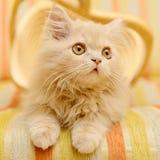 Fluffy Persian kitten Stock Photo