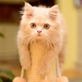 Fluffy Persian kitten Royalty Free Stock Photography