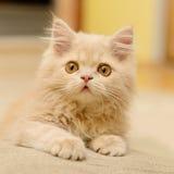 Fluffy Persian kitten Stock Photos