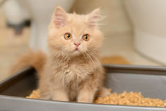 Fluffy Persian kitten Royalty Free Stock Photo