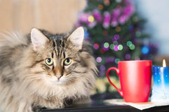 Fluffy pet cat   Royalty Free Stock Image