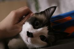 Cute cat lies. Fluffy pet. the funny cat with blue eyes lies and looks in the camera, has a rest. it is white a brown black kitty. the person irons a cat. the stock images