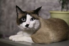Serious cat lies. Fluffy pet. the funny cat with blue eyes lies and looks in the camera, has a rest. it is white a brown black kitty stock images