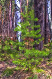Fluffy pine. The beginning of spring. Fluffy pine tree in the sun Royalty Free Stock Photos