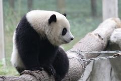 Fluffy Playful Panda Cub in Chongqing, China Royalty Free Stock Image