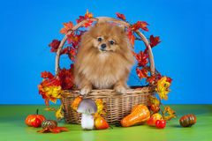 Fluffy Pomeranian in a basket with vegetables Royalty Free Stock Photos