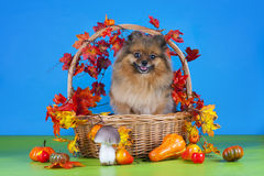 Fluffy Pomeranian in a basket with vegetables Royalty Free Stock Image