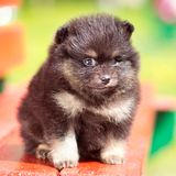 Fluffy Pomeranian puppy Royalty Free Stock Photography