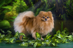 Fluffy Pomeranian in the rainforest Royalty Free Stock Photography