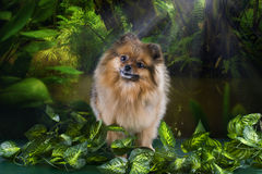 Fluffy Pomeranian in the rainforest Stock Photo