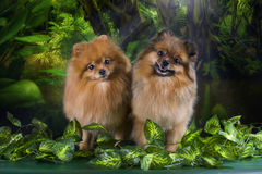 Fluffy Pomeranian in the rainforest Stock Photography