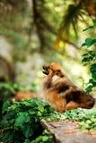 fluffy Pomeranian Spitz dog in park with green trees stock photo