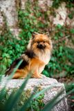 fluffy Pomeranian Spitz dog sit in park with green brick wall royalty free stock photo