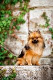 fluffy Pomeranian Spitz dog sit in park with green trees brick wall stock photography