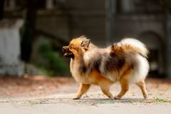 fluffy Pomeranian Spitz dog walk in orange leaves in autumn stock image
