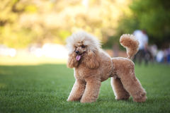 Fluffy poodle breed cutie. Horizontal portrait of one dog of poodle breed with long red hair standing outdoors on green grass on summer sunny day stock photos