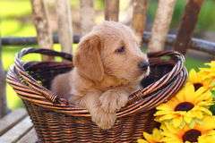 Fluffy Poodle Mix Puppy Sits in a Basket with Sunflower Royalty Free Stock Photos