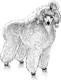 Fluffy poodle Royalty Free Stock Photo