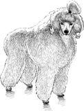 Fluffy poodle stock illustration