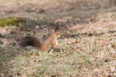 Fluffy pretty red squirell stands on paws and looks to the side. Stock Photo