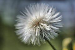Fluffy puffy dandelion. Macro shot of luffy puffy dandelion Stock Photos