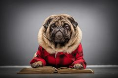 Fluffy pug dog laying on an old book. royalty free stock photography