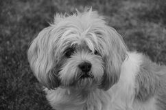 Fluffy Puppy Closeup Royalty Free Stock Images