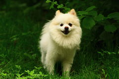 A  puppy dog (pomeranian). P puppy pomeranian dog playing on the lawn Royalty Free Stock Image
