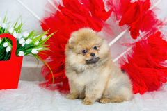 Fluffy puppy with flowers Stock Image