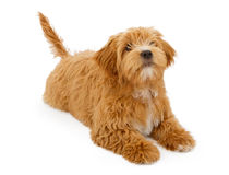 Fluffy Puppy Laying Down Stock Photography