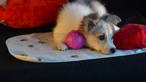 Fluffy puppy laying with toys, didn`t want to play. Black background and heart pillow. stock footage