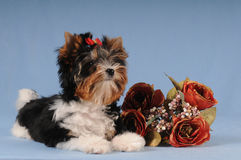 Fluffy puppy liyng with bunch of roses. On blue textile background Stock Photography