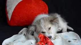 Fluffy puppy is lying on a napkin next to pillow in the shape of a heart. Eats treats for dogs, gift wrap. Fluffy puppy is lying on a napkin next to pillow in stock footage