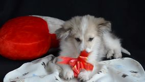 Fluffy puppy is lying on a napkin next to pillow in the shape of a heart. Keeps paws and eats treats for dogs, gift wrap stock video