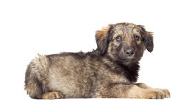 Fluffy puppy Stock Photography