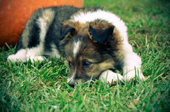 Fluffy puppy with pumpkin on a grass Royalty Free Stock Photography