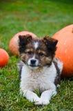 Fluffy puppy with pumpkin on a grass Stock Photos