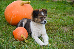Fluffy puppy with pumpkin on a grass Royalty Free Stock Photo