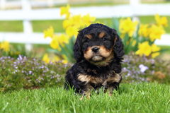 Fluffy Puppy Sits in Grass with Flowers in Background Royalty Free Stock Photos
