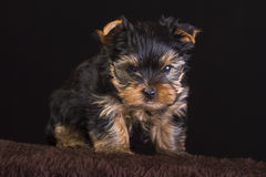 Fluffy puppy Royalty Free Stock Image