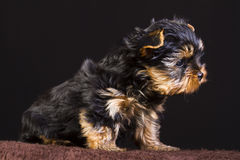 Fluffy puppy Royalty Free Stock Photography