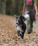 Fluffy Puppy Walking On Autumn Leaves Stock Photography