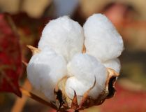 Cotton Boll still on its stem. A large cotton pod filled with fluffy white cotton bolls, stem growing on their stems Royalty Free Stock Image