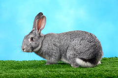 Fluffy rabbit Stock Image