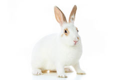Fluffy rabbit Stock Photo