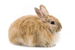 Fluffy rabbit Stock Images
