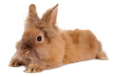 Fluffy rabbit Stock Photography