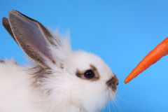 Fluffy rabbit against the blue background. Fluffy rabbit and carrot against the blue background Royalty Free Stock Images